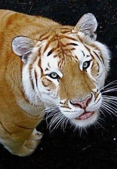 Golden Tiger Animals Beautiful