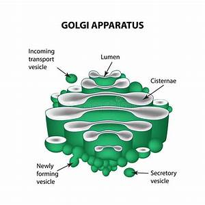The Structure Of The Golgi Apparatus  Infographics  Vector
