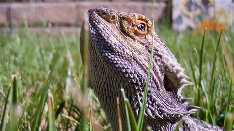 Free bearded dragon wallpapers and bearded dragon backgrounds for your computer desktop. Bearded Dragon Wallpaper ·① WallpaperTag