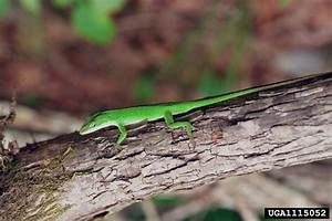 Related Keywords & Suggestions for life cycle anole lizard