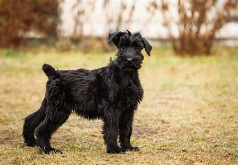 Giant Schnauzer Puppies For Sale - AKC PuppyFinder