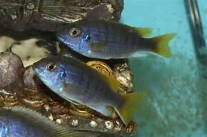 94 best images about Lake Malawi Mbuna Cichlids on ...