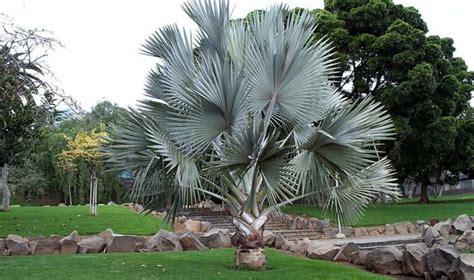 BISMARCKIA NOBILIS ( PALMEIRA AZUL ) 2.70M A 3.00M (M) (5 ...