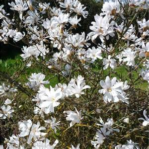 magnolia shrub varieties magnolia stellata tree buy starry magnolia shrubs trees