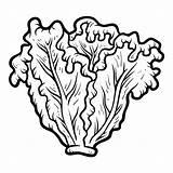 Lettuce Clipart Coloring Alface Colorir Laitue Coloriage Lattuga Colorear Lechuga Malbuch Libro Colorare Worksheet Kopfsalat Children Livro Imagens Clip Boek sketch template