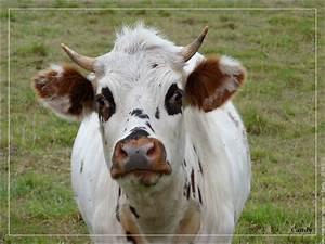 Tete De Vache Deco : vache normande vache animal stock pinterest ~ Melissatoandfro.com Idées de Décoration