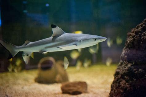 black tip reef shark st andrews aquarium
