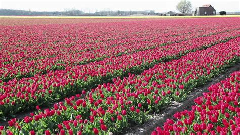 tulips bed farm hd morning near the eiffel tower with tulips flower stock footage video 4481831 shutterstock