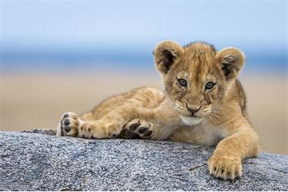 Lion Cub Cubs Relaxing Adorable Tino Pride