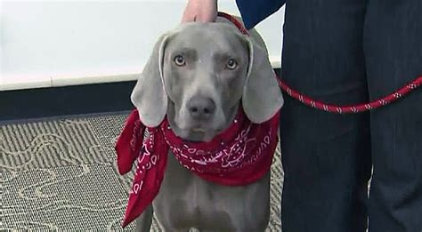 weimaraner rescued  alleged abuser posted acts