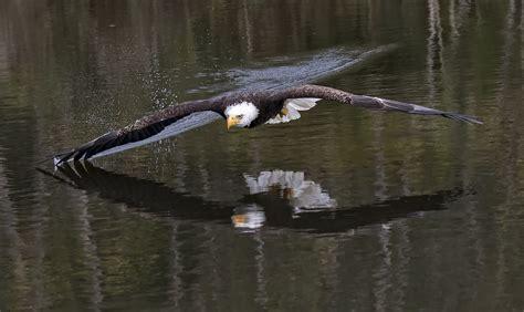 bald eagle  wing tip  water   crc steve