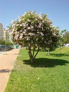 Hibiscus Tree Wwwimgkidcom The Image Kid Has It