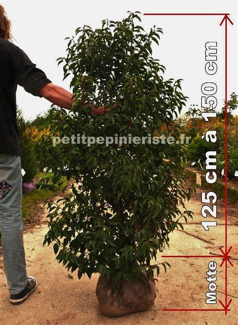 laurier entretien en pot laurier du portugal prix vente et achat