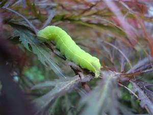 Chenille Verte Fluo : les habitants de notre jardin page 356 au jardin ~ Nature-et-papiers.com Idées de Décoration