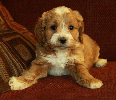 Do Cockapoo Dogs Shed Hair by Cockapoo Puppies Search Precious Pupps