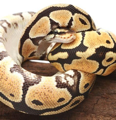 100 ball python shedding and feeding pinto pied