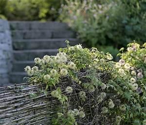 Wächst Rucola Nach : nat rlicher sichtschutz die einheimische waldrebe clematis vitalba w chst an einem flechtzaun ~ Watch28wear.com Haus und Dekorationen