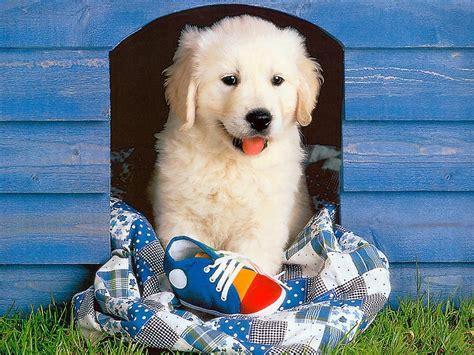 Golden Retriever Puppy Wallpaper by Golden Retriever Puppies Wallpaper Wallpaper Wide Hd