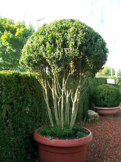 buchsbaum wann schneiden buchsbaum schneiden wann