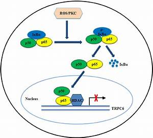 Schematic illustration of the down-regulation of TRPC6 ...