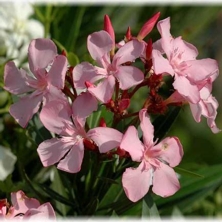 oleander richtig schneiden oleander richtig schneiden garten garten oleander schneiden und garten deko