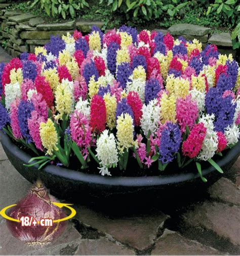 planter des jacinthes en pot jacinthes parfumees en melange plante en ligne