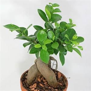 Bonsai Ficus Ginseng : lorbeerfeige ficus ginseng ficus microcarpa ~ Buech-reservation.com Haus und Dekorationen