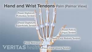Diagram Human Arm Tendons