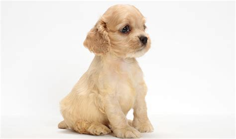Types Of Dogs That Dont Shed by Cocker Spaniel Dog Breed Information