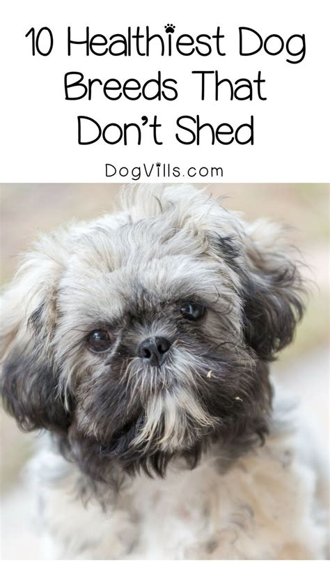 Best For That Don T Shed - the 25 best hypoallergenic breed ideas on