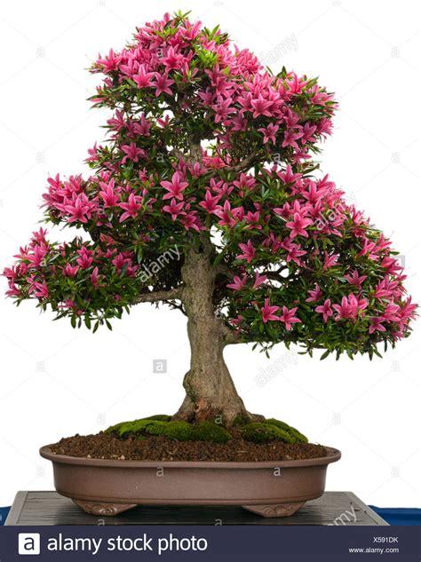 baum mit rosa blüten bl 252 hende azaleen bonsai baum mit rosa bl 252 ten stockfoto bild 278637903 alamy