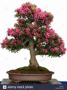 Rosa Blüten Baum : bl hende azaleen bonsai baum mit rosa bl ten stockfoto bild 278637903 alamy ~ Yasmunasinghe.com Haus und Dekorationen