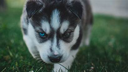 Husky Dog Puppy Heterochromia 4k Wallpapers Uhd