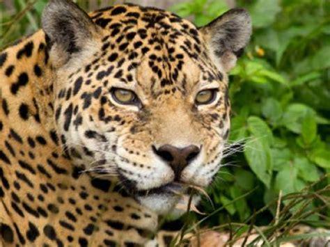 warum sind jaguare gefleckt