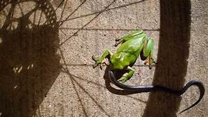 Picture: Green tree frog devours venoumous snake | The ...