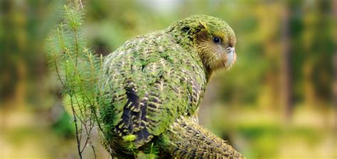 grayish blue kakapo a critically endangered bird from zealand
