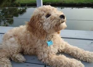 Best 25 Cocker Poodle Ideas On Pinterest Cavapoo