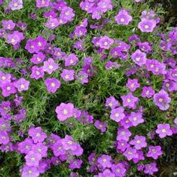 purple flowering perennial ground cover nierembergia nierembergia hippomanica purple robe also called purple robe cup flower this