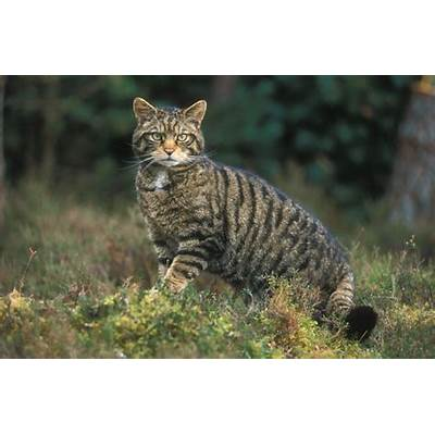 Paisley Natural History talk on the Scottish Wildcat