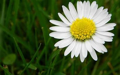 Daisy Wallpapers Flower Cave