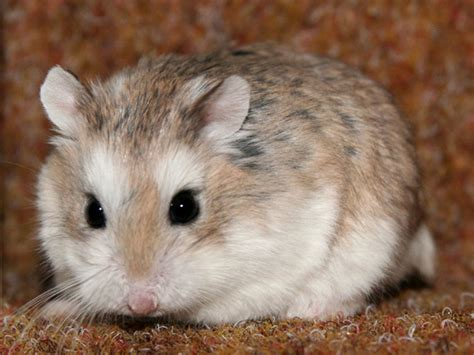 roborovski hamster roborovski hamster related keywords suggestions roborovski hamster long tail keywords