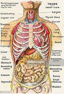 Human Internal Organ Stock Illustrations And Cartoons