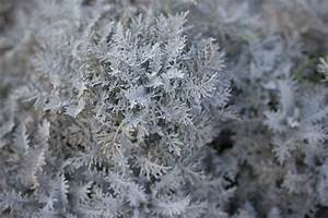 How to Grow and Care for Dusty Miller