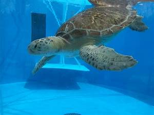 Sea Turtles. - Hector's Habitat