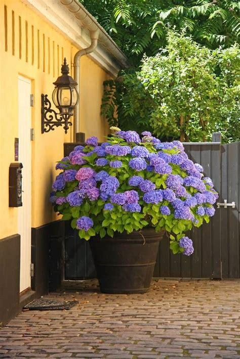 blue flowers  grow  containers balcony garden web