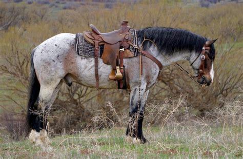 draft horse horses cross gelding quarter mare appaloosa belgian western goose breeds wyoming roan mix buckskin pretty american pony bay