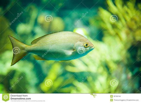 le poisson de jaune d 233 rive parmi des coraux 224 l aquarium