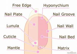 Nails  Structure  U0026 Function