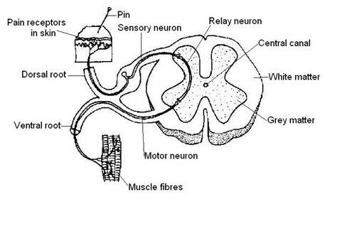 anatomy  physiology  animalsnervous system worksheetworksheet answers wikieducator