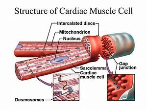 Chapter 19 The Heart Circulatory system Cardiovascular ...